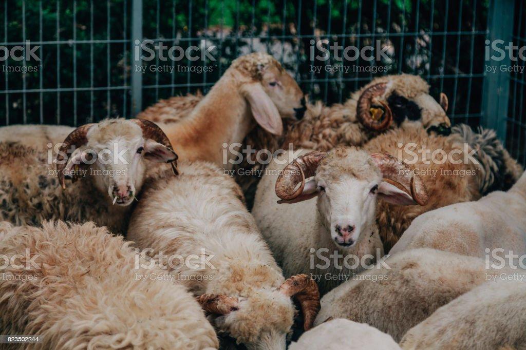 Marché de bétail se prépare pour l'Aïd al-Adha - Photo