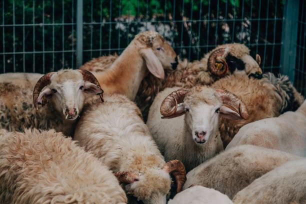 mercado ganadero obtiene listo para eid al-adha - eid mubarak fotografías e imágenes de stock