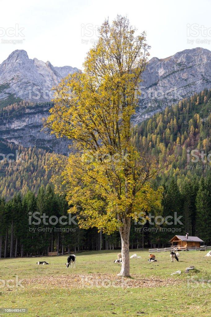 Dolomites Hayvancılık stok fotoğrafı