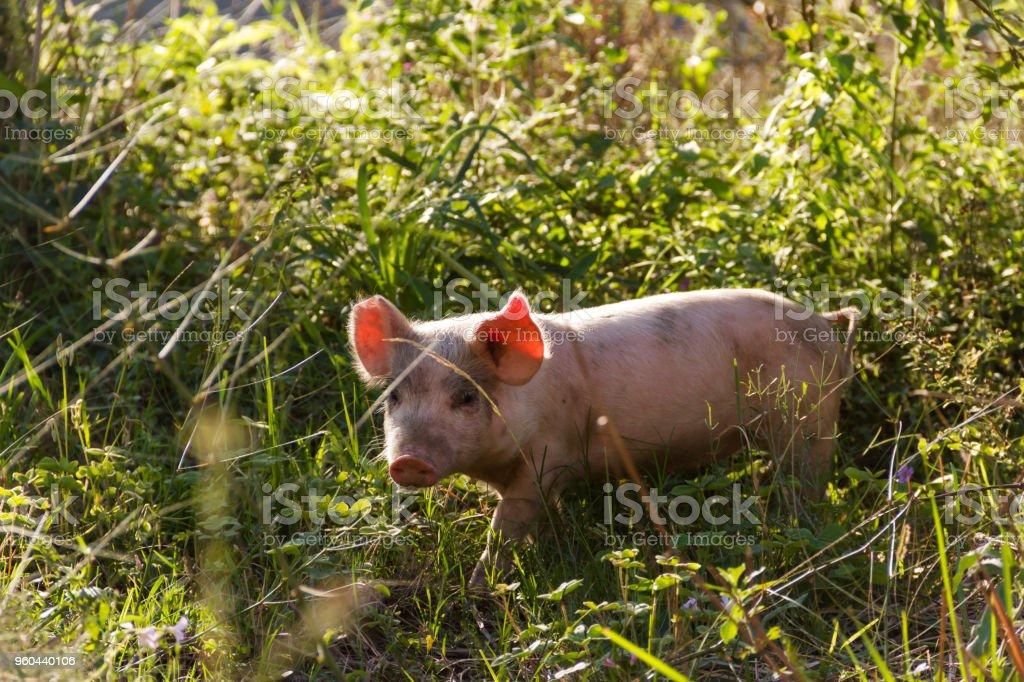 Livestock of loose pigs walking on the farm stock photo
