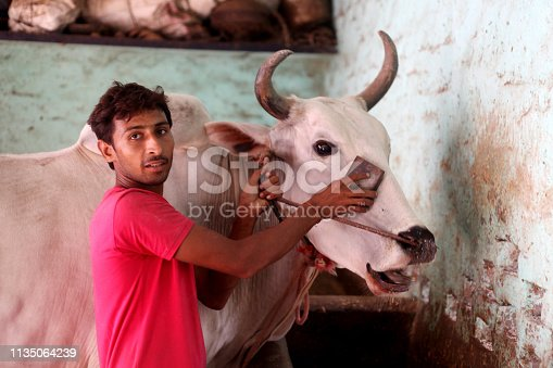 Rural farmer cleaning his bull at home