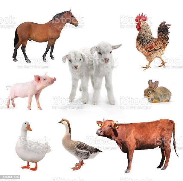 Livestock picture id540531180?b=1&k=6&m=540531180&s=612x612&h=cwn88vsvq6zv2uu s6ebqpoycnyk7ex4rd ardpg sq=