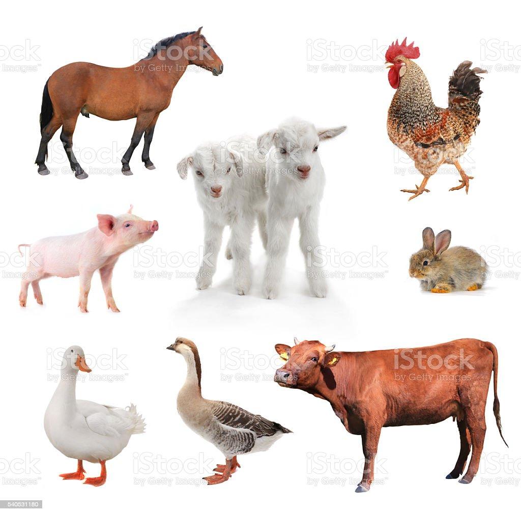 livestock stock photo