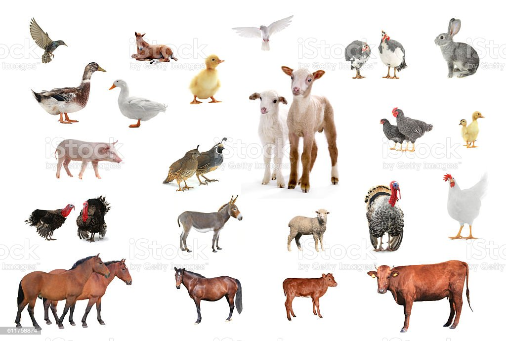 家畜 ストックフォト