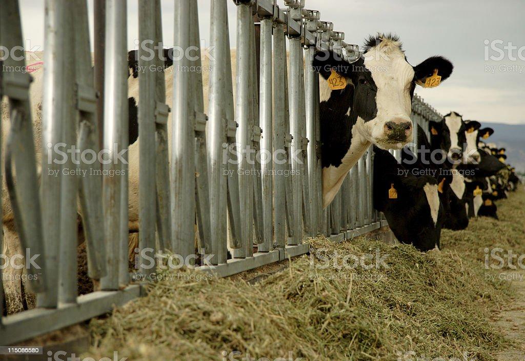 livestock scenes feeding cows stock photo