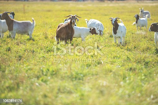 Backgrounds of Livestock Sheep and Goats in pasture Rural Elements and Surfaces and Outdoor Textures Western Colorado for CC Kasasa - downsampled and filtered as needed for best results with shallow DOF (Shot with Canon 5DS 56mp photos professionally retouched - Lightroom / Photoshop - original size 5792 x 8688)