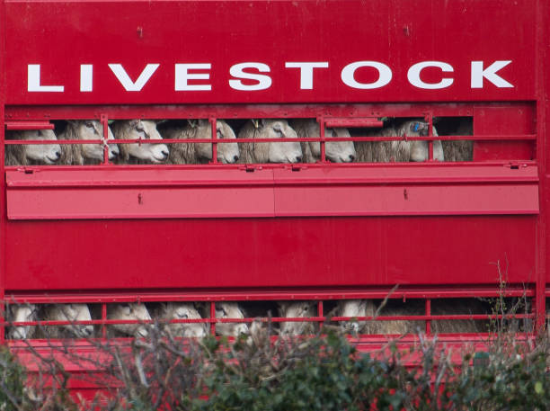 Livestock sheep being transported to market in bright red lorry - Photo