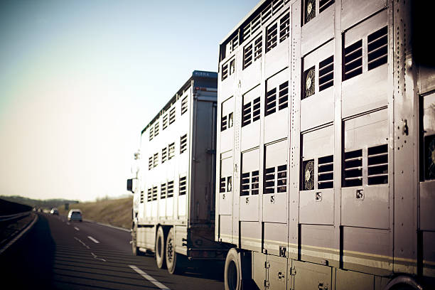 Livestock transportation stock photo