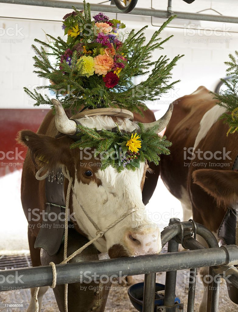 livestock with flower decoration and cow bell royalty-free stock photo