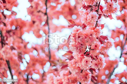istock Living coral blossom background 1078514944