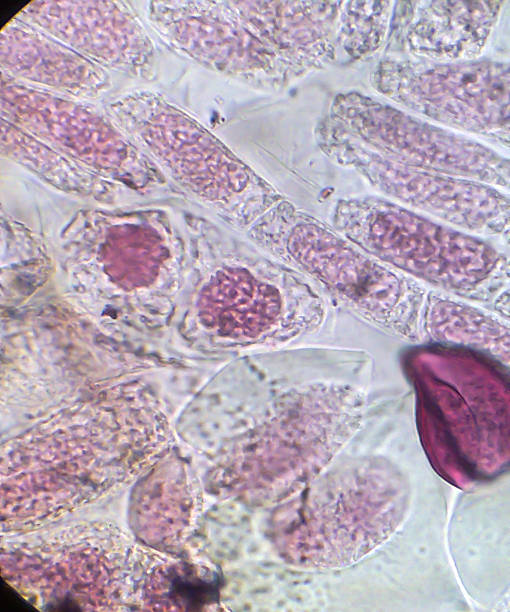 Living healthy cells (mitosis) stock photo