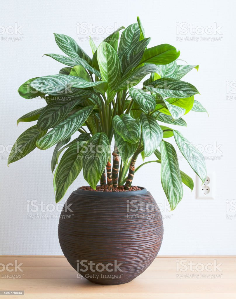 Living room with Aglaonema houseplant and wall socket royalty-free stock photo