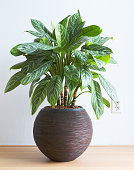 Light living room with Aglaonema houseplant in round pot and wall socket