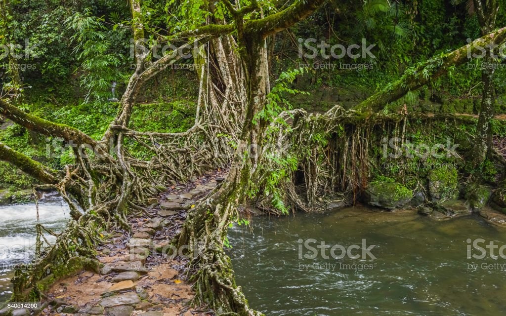 Living roots bridge over river, Shillong, Meghalaya, India.