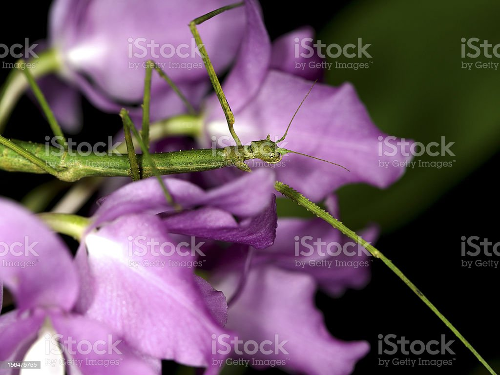 Living stick on orchid royalty-free stock photo