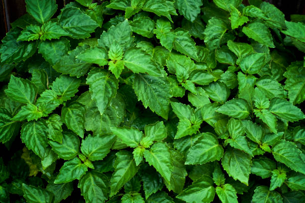 living vibrant green Pogostemon cablin patchouli plant leaves wet from rain stock photo