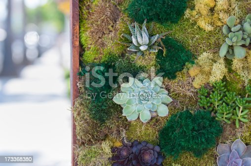 Decorative wall filled with living succulents, lichen and moss along the sidewalk of a city street.  Venice, California, USA