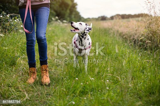 Dalmatian on the leash walking along a country footpath with its owner