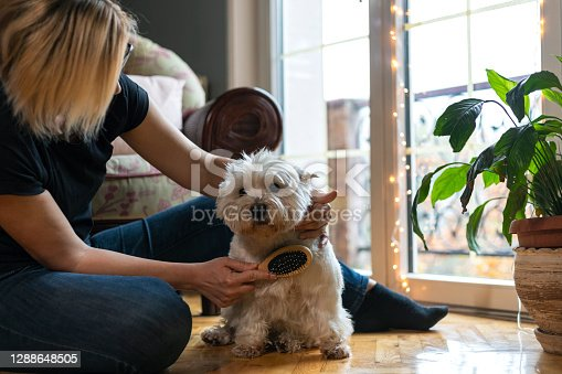 Living with pets.An adult woman caresses and brushes her cute pampered dog