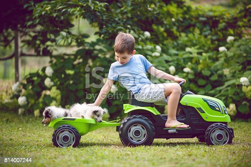 Boy driving his Shetland Sheepdog puppies in a tractor toy