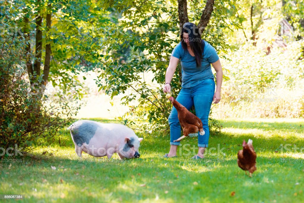 Living with Pets, pig dwarf and chicken stock photo