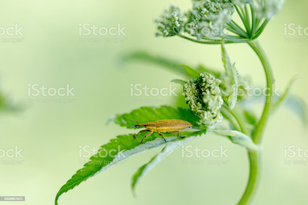 Lixus bardanae, Kulczanka szczawiowiec, Bruine zuringsnuitkever on grean grass leaf in morning sun light. stock photo