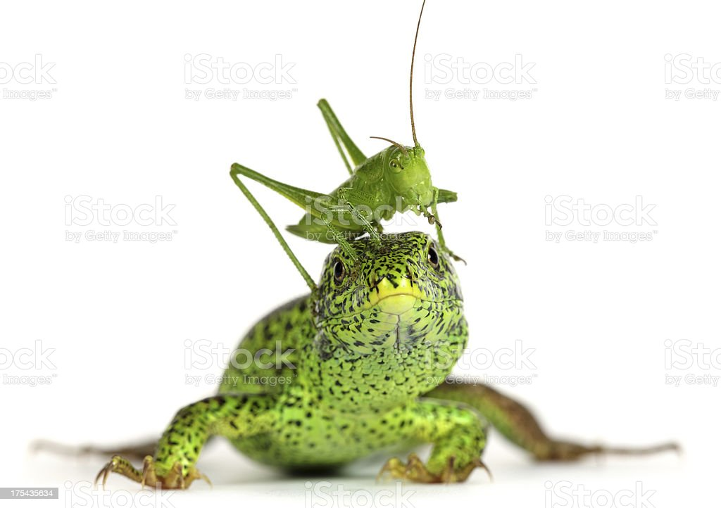 Lizard and Grasshopper royalty-free stock photo