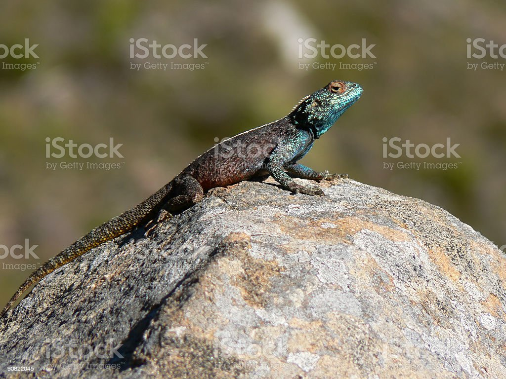 Lizard basking on a rock stock photo