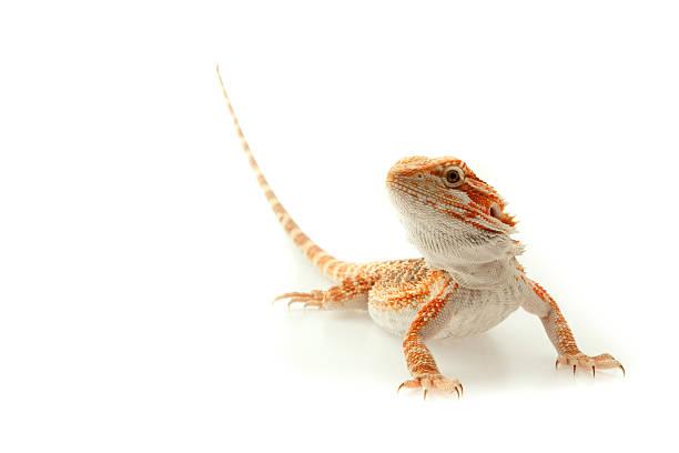 도마뱀류 턱수염도마뱀 흰색 바탕에 그림자와 - 파충류 뉴스 사진 이미지