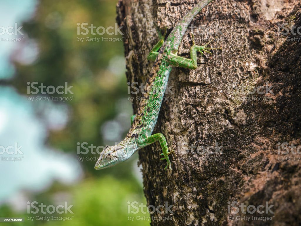 Lizard climbing down tree bark stock photo