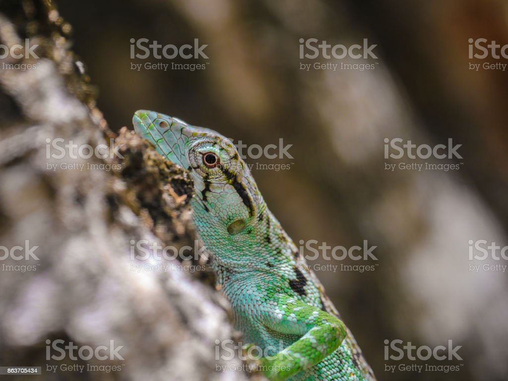 Lizard climbing hiding on tree bark stock photo