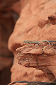 A lizard climbs the rock formations in the Valley of Fire