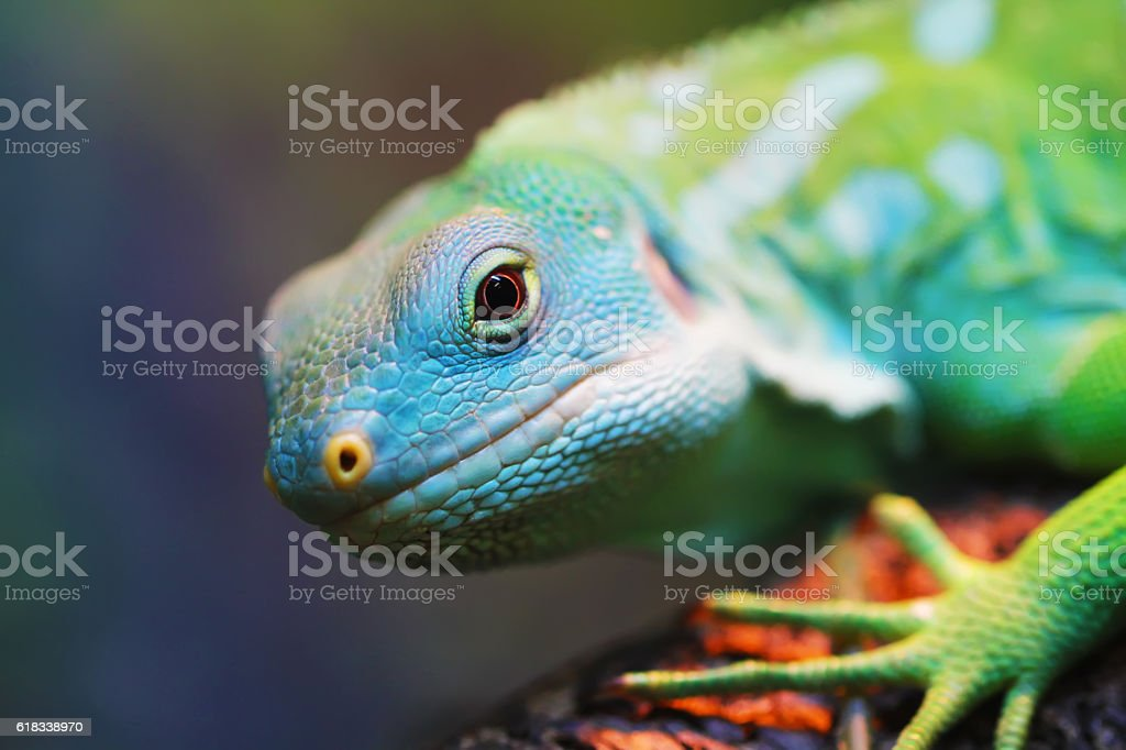 Lizard close up animal portrait - foto de acervo