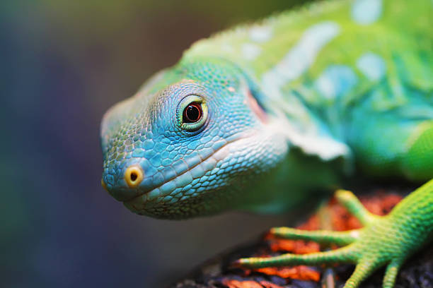 lizard close up animal portrait - 파충류 뉴스 사진 이미지