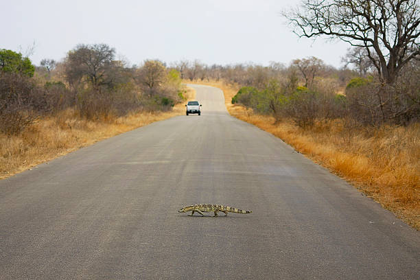 Lizard crosses road A lizard crosses a paved road lined with dry vegetation. Down the road is a white car middle of the road stock pictures, royalty-free photos & images