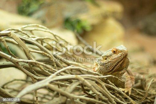 istock Lizard Desert Dragon 952852018