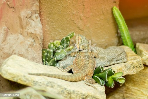 istock Lizard Desert Dragon 952852020