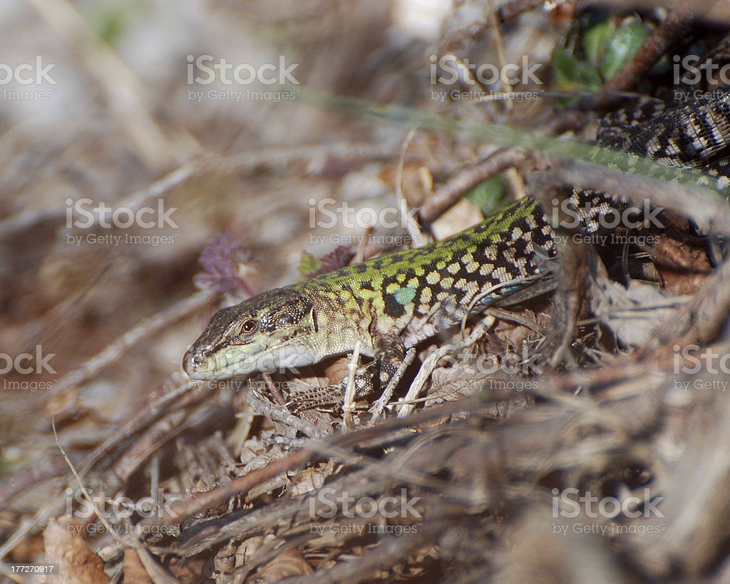Lizard emerging from the undergrowth royalty-free stock photo