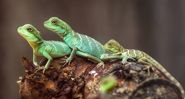도마뱀류 가족 발허리뼈와 - 파충류 뉴스 사진 이미지