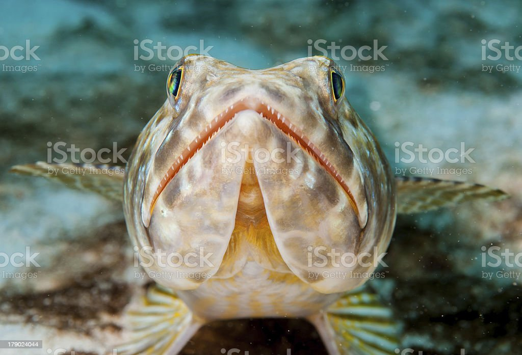Lizard Fish royalty-free stock photo