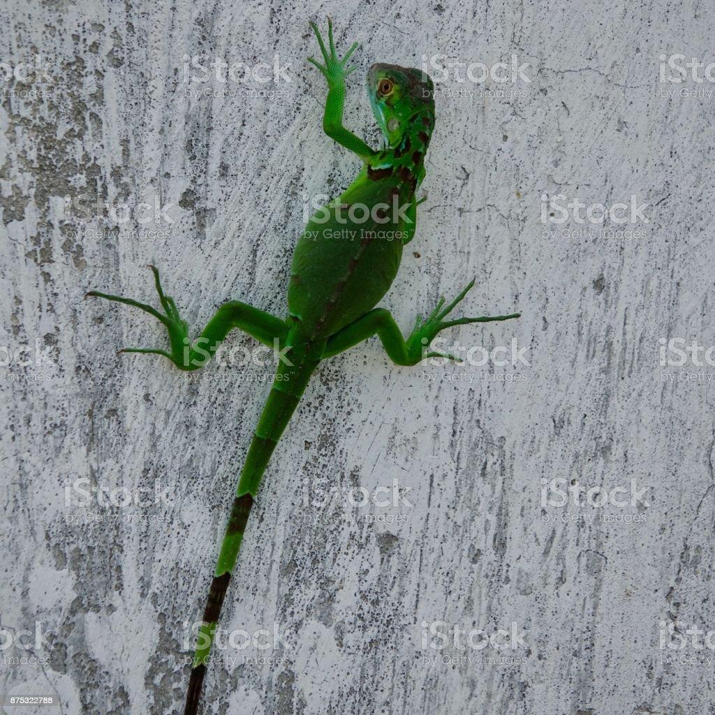 Lizard, green stock photo