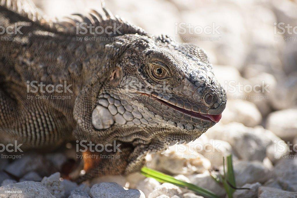 Lizard head royalty-free stock photo
