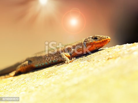 Lizard sunning itself on a hot stone.