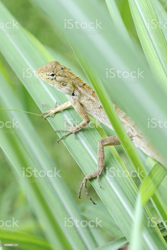 Lizard verstecken im Gras, Thailand – Foto