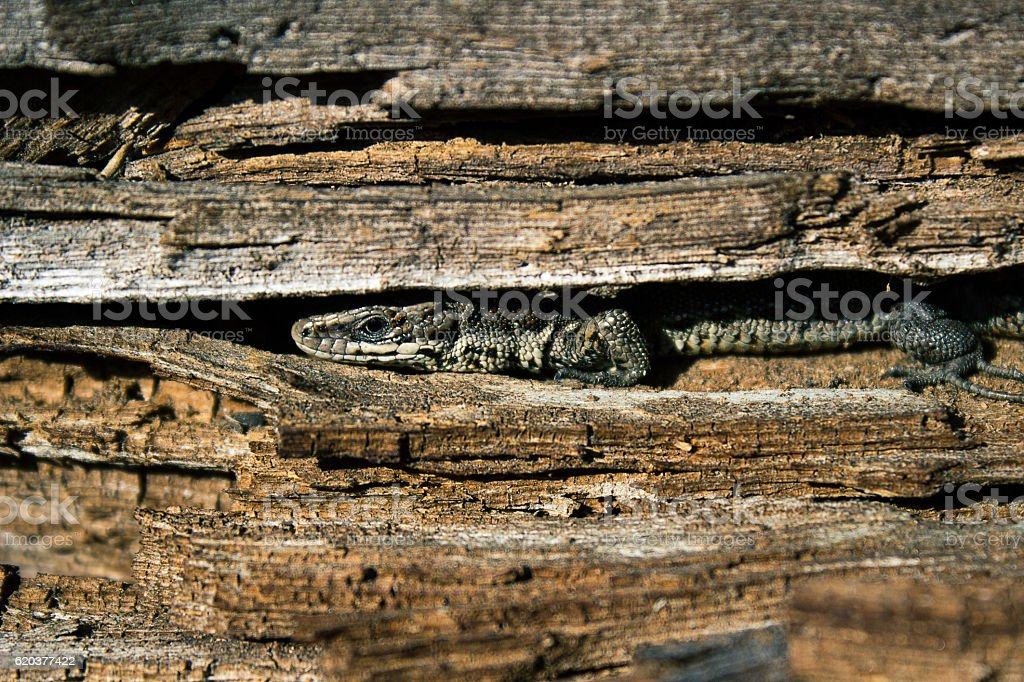 Lizard hiding in the trunk of a tree. foto de stock royalty-free
