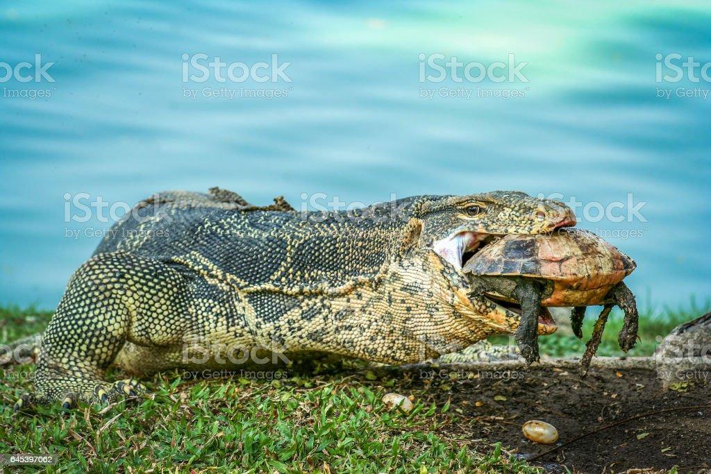 Lizard holding dead turtle stock photo