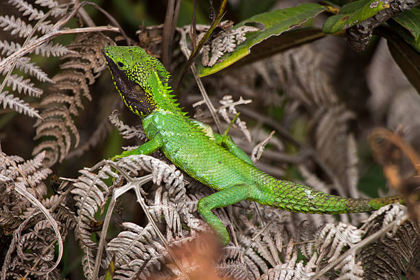 Echse, Horton Plains-Nationalpark, Sri Lanka – Foto