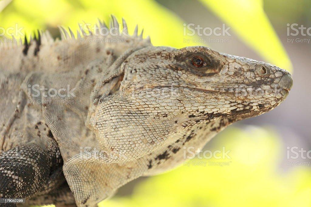 Curious lizard in Aruba, Caribbean.