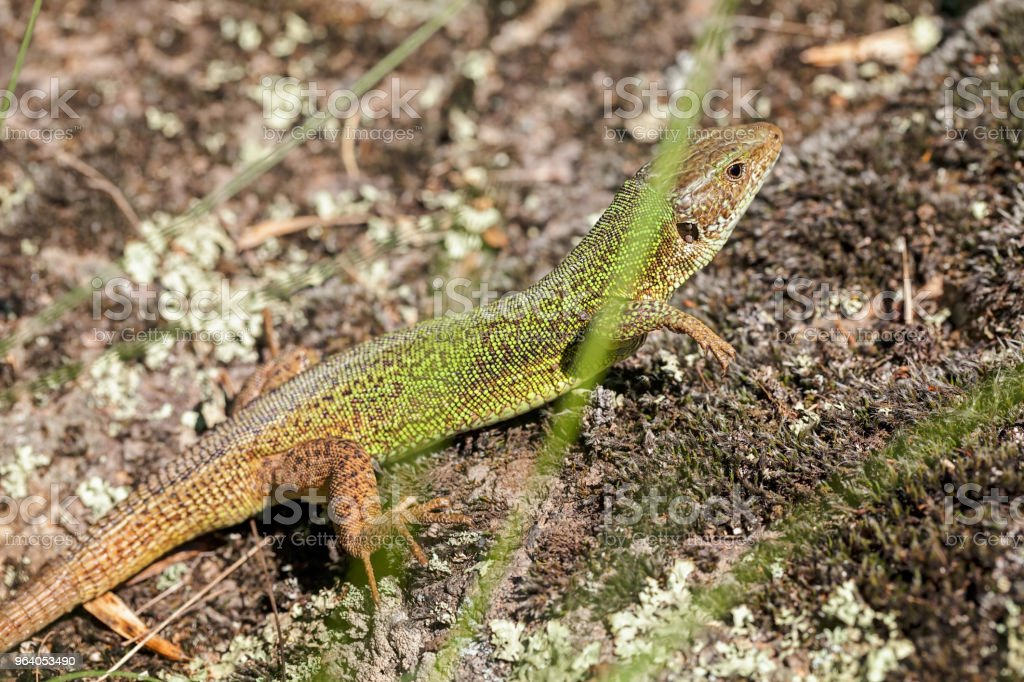 Lizard in natural environment - Royalty-free Animal Stock Photo