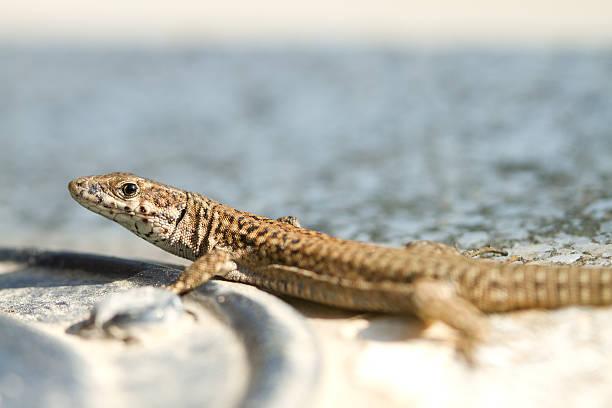 Lizard in precaution position stock photo